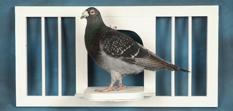homing pigeon in coop taxidermy mount