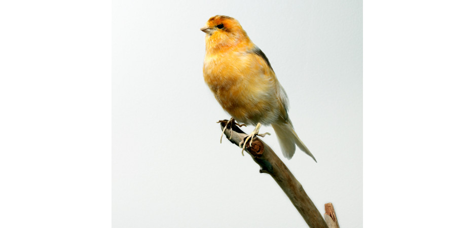 canary taxidermy mount