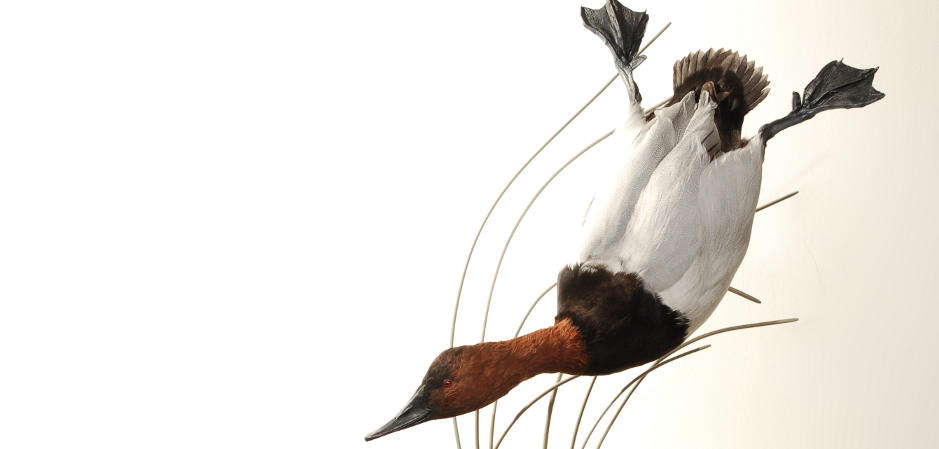 diving canvasback taxidermy mount