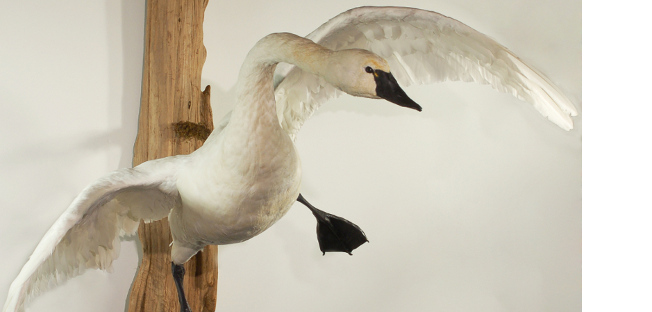 taxidermy mount of flying tundra swan
