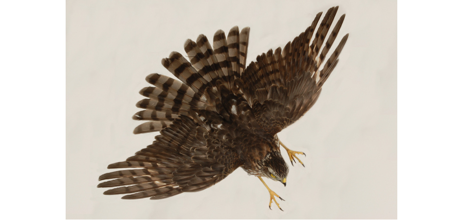taxidermy mount flying sharp-shinned hawk