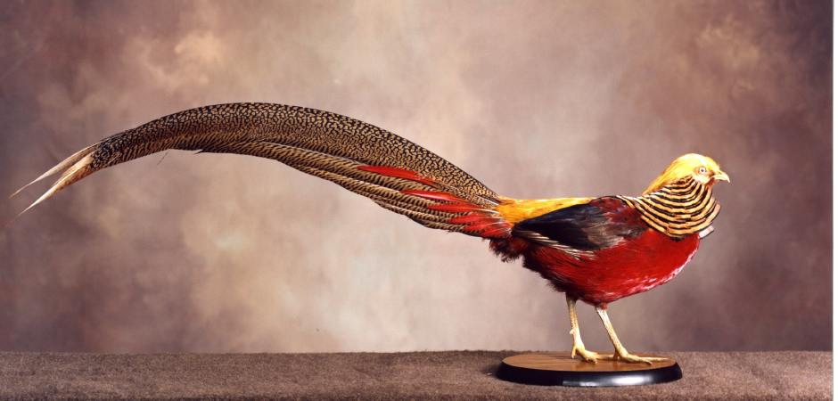 Red golden Pheasant taxidermy mount